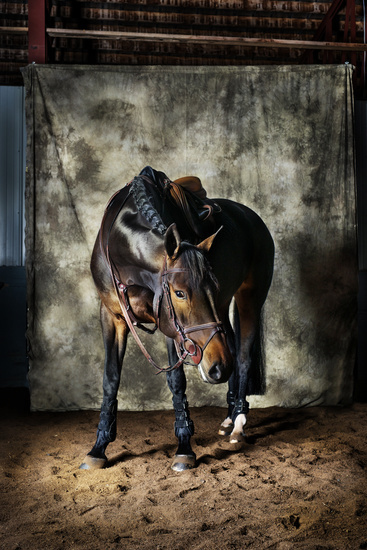 warmblood mare tacked up on a canvas backdrop