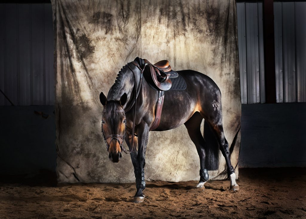 warmblood mare on canvas backdrop